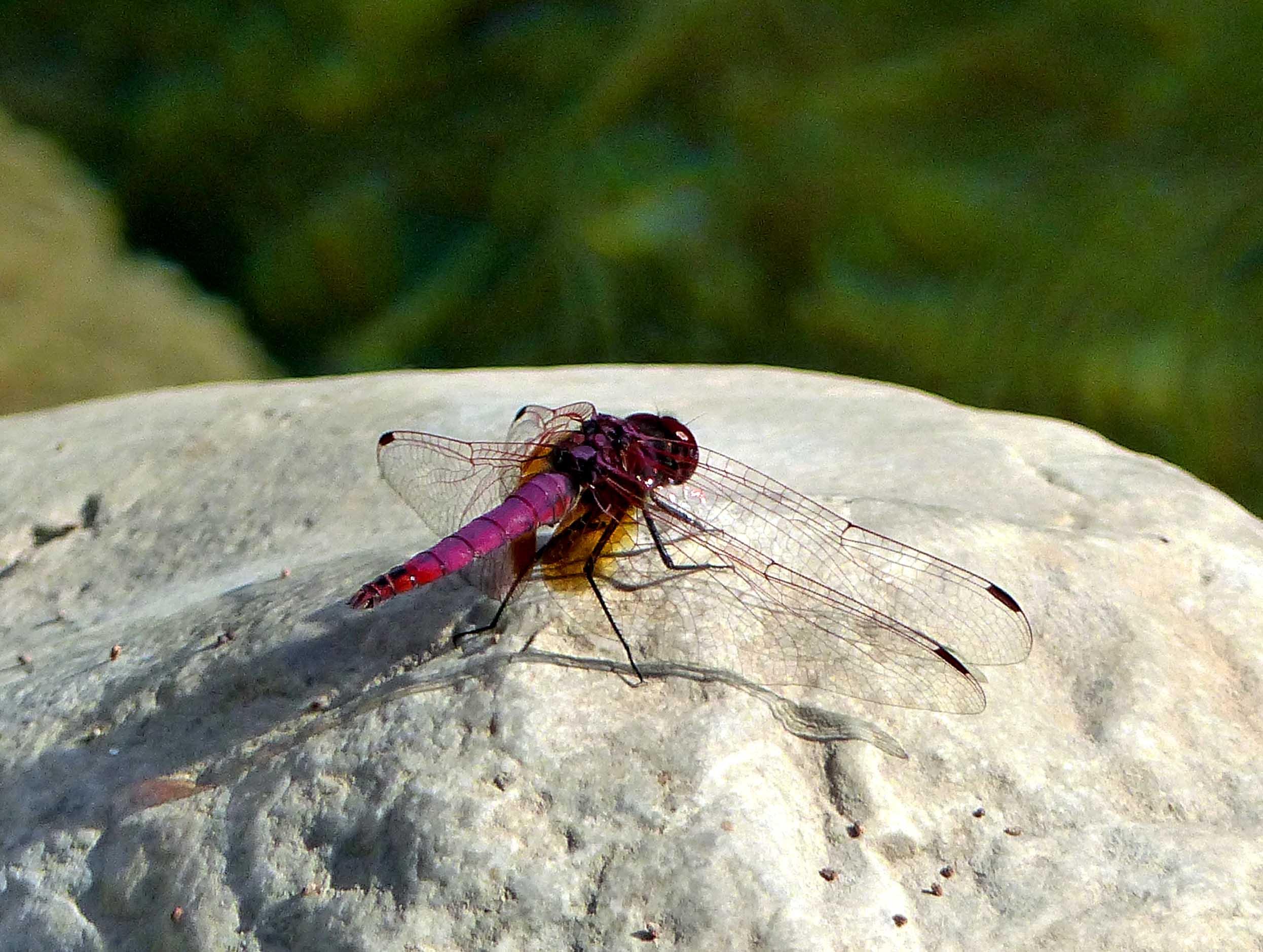 Mauve dragonfly on a rock