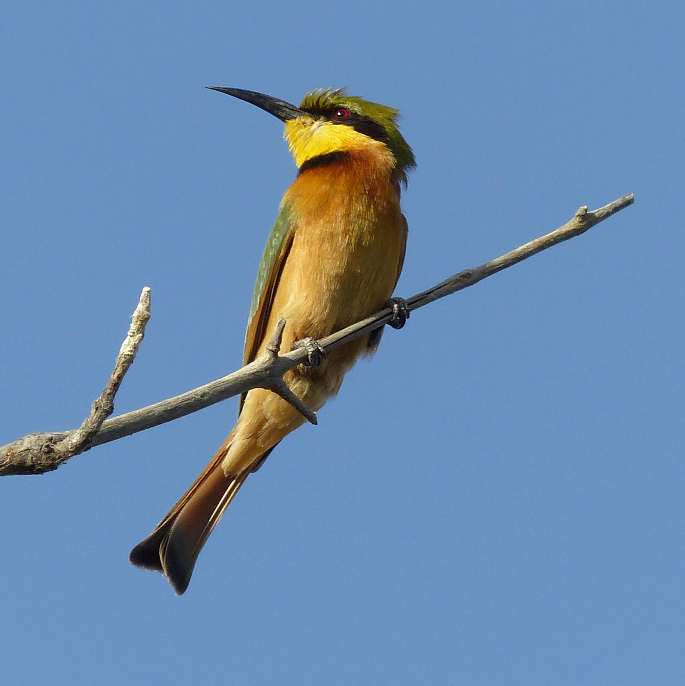 Bright yellow and green bird with a long tail