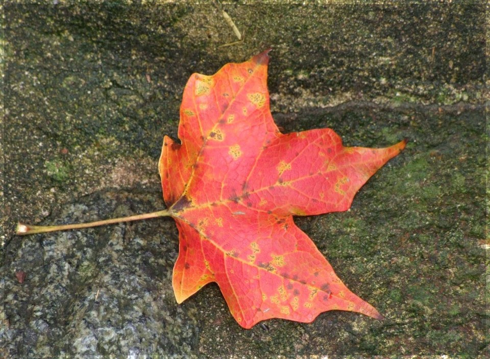 Red leaf on the ground