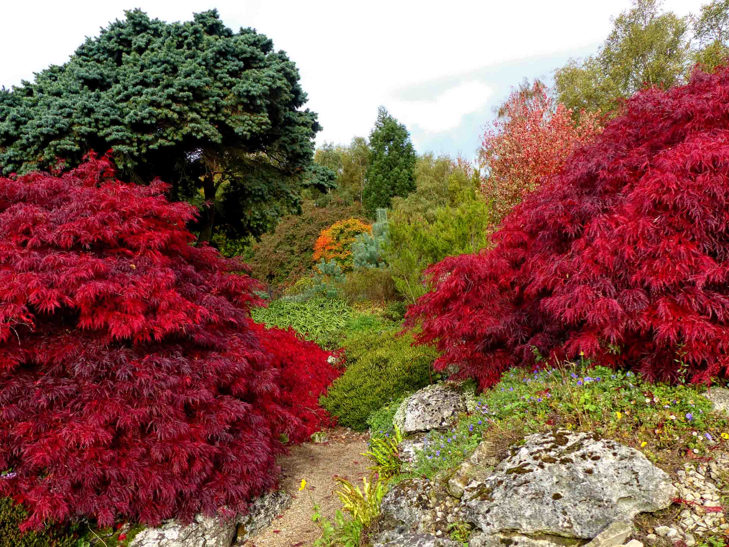 Path between red acers and other trees