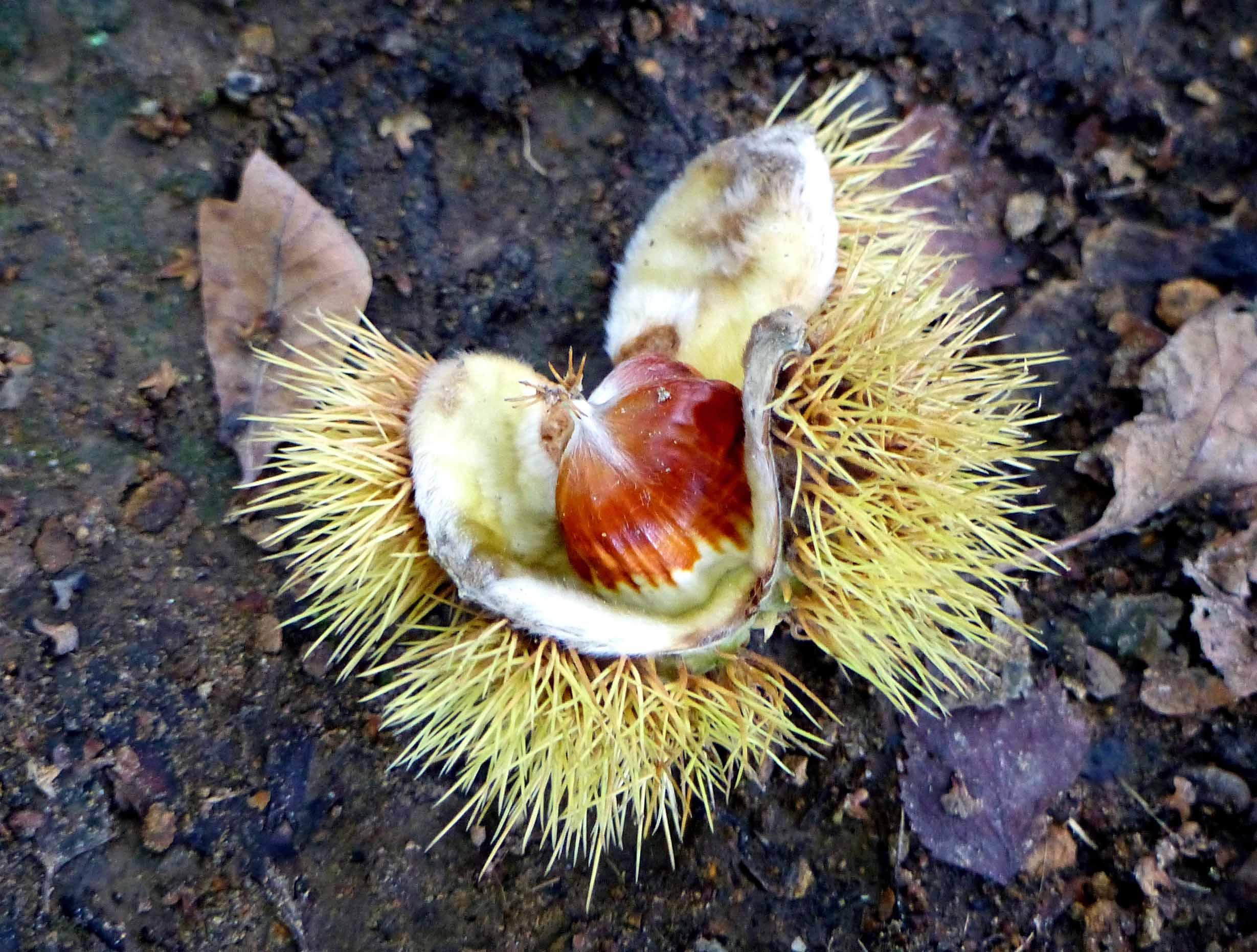 Conker on the ground in its prickly case