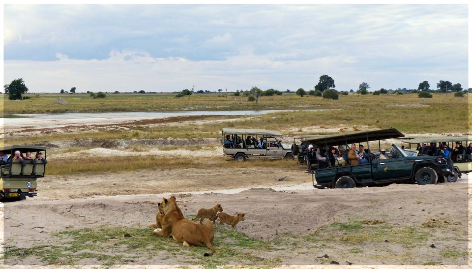 Small group of lions surrounded by game viewing jeeps