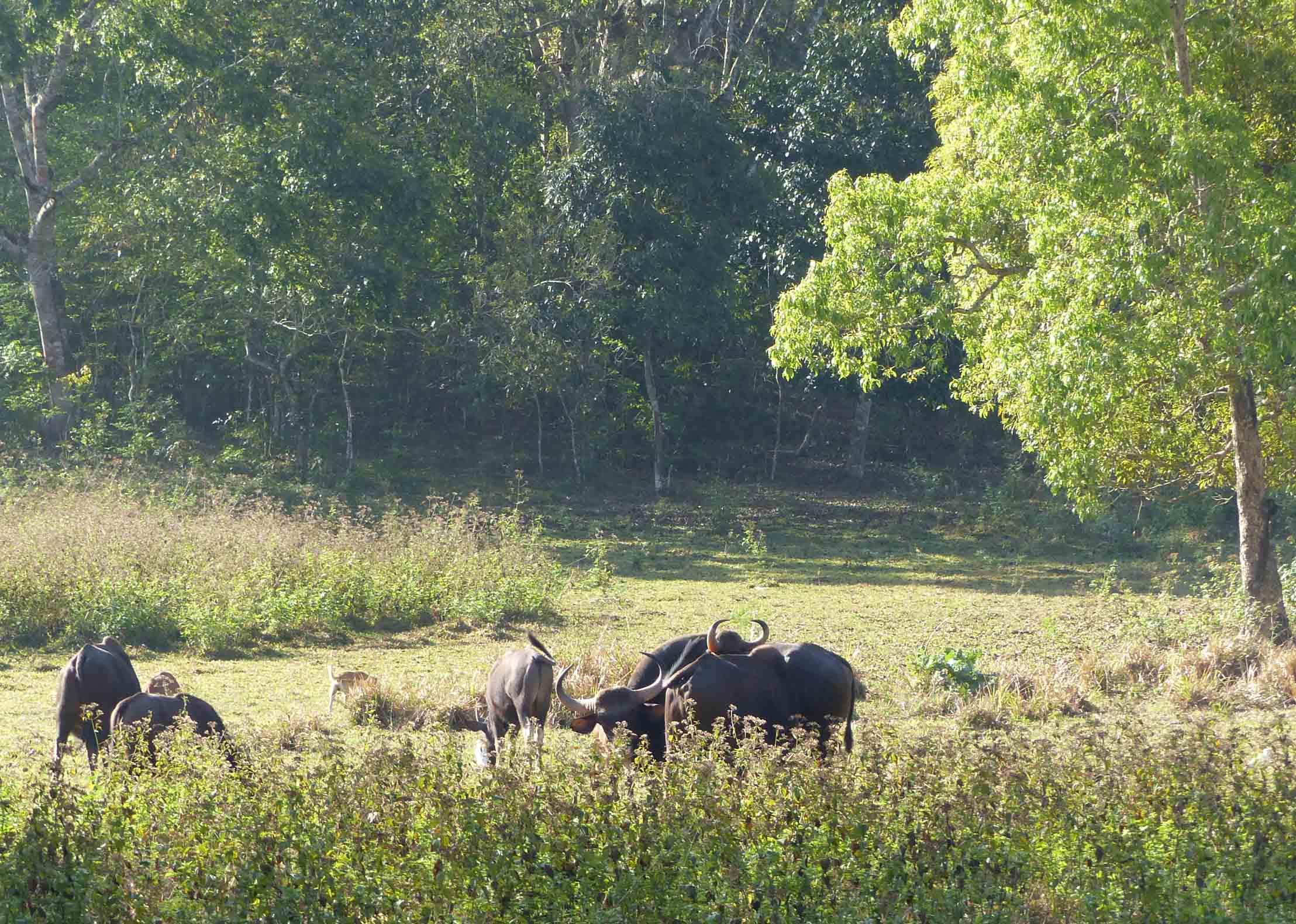 Group of bison among trees