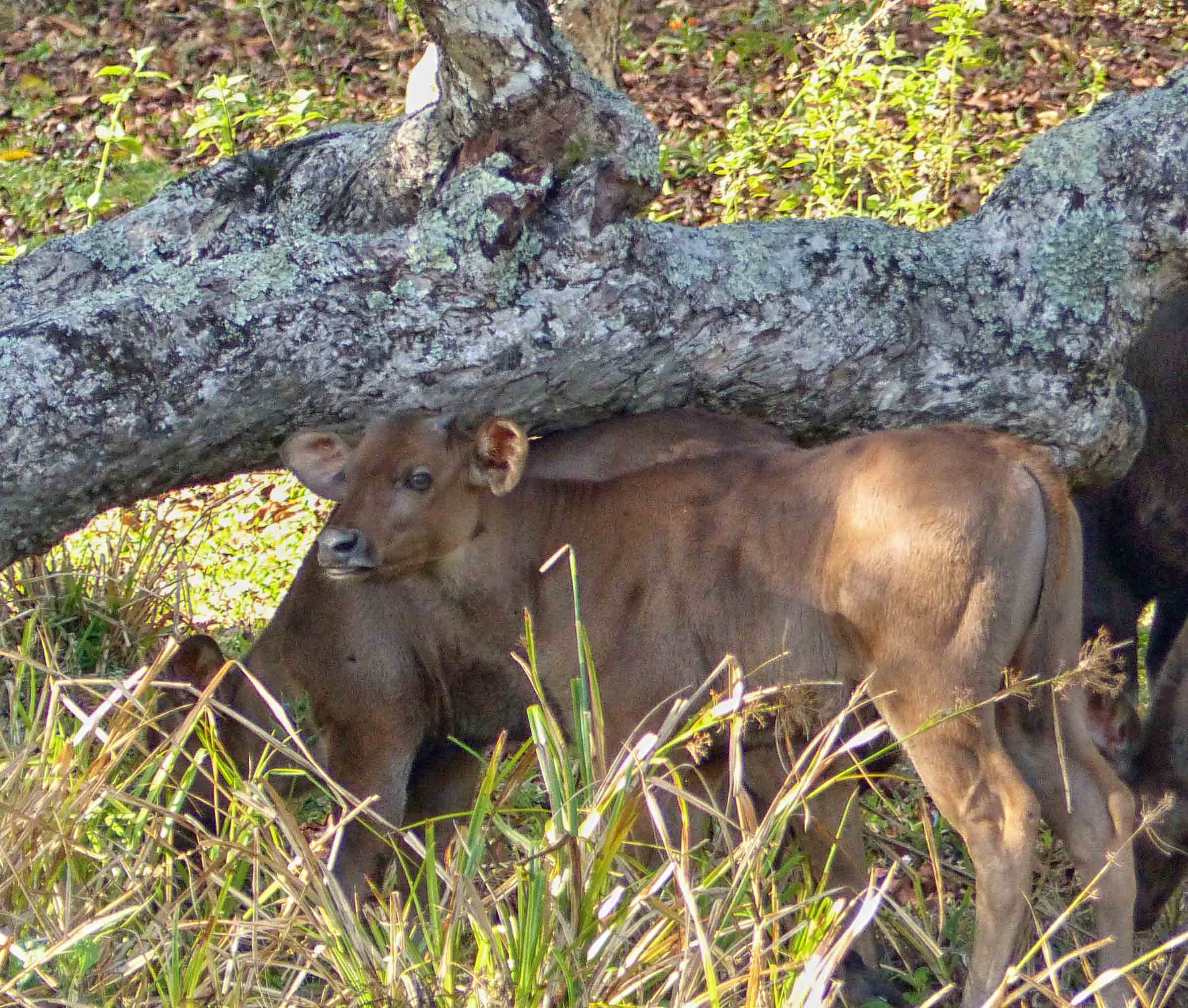 Two brown calves in the shade of a fallen tree trunk