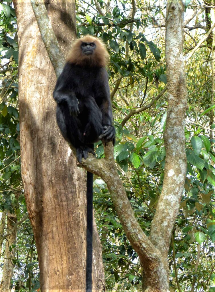 Black monkey with beige ruff and long tail
