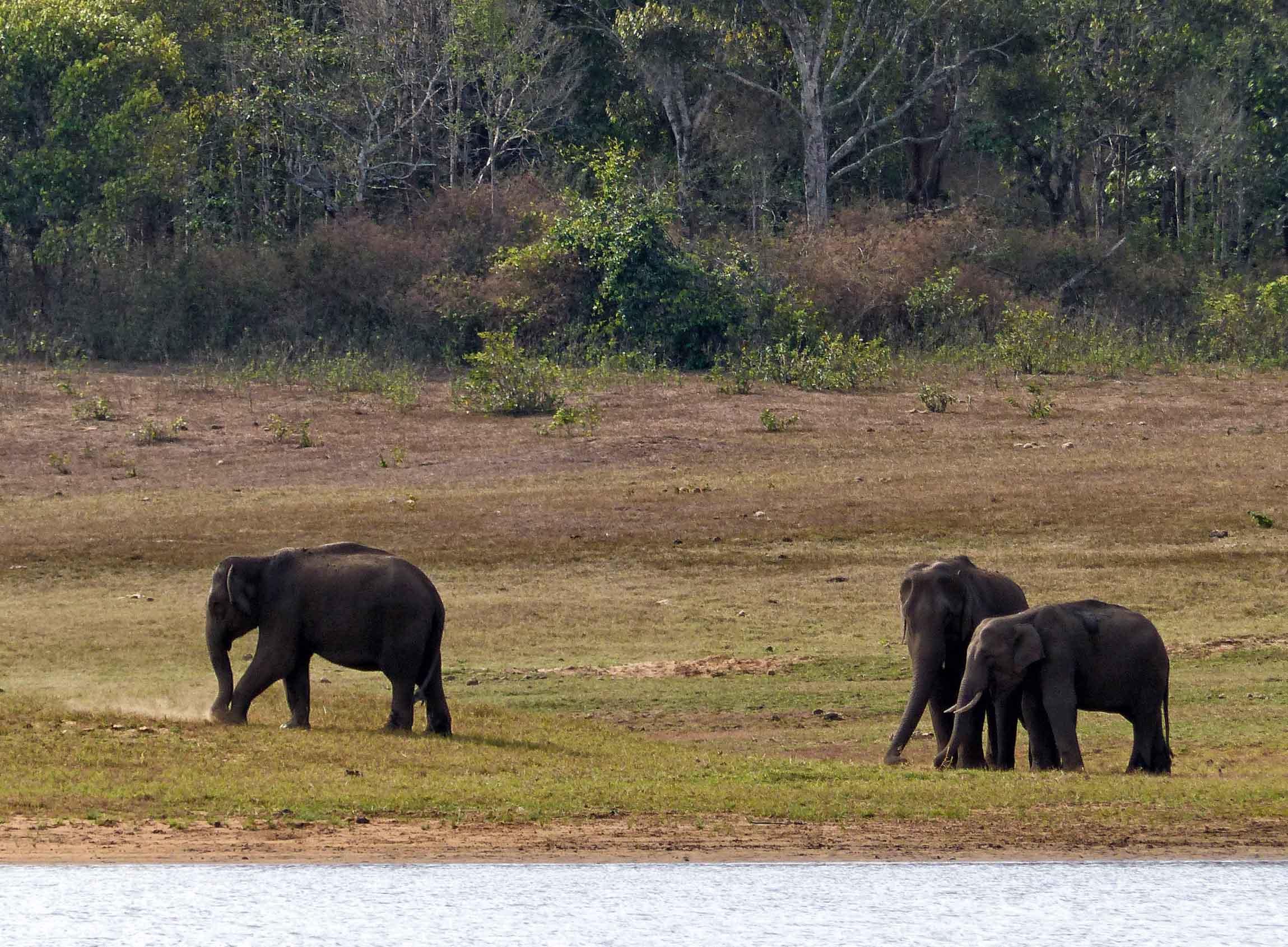 Three elephants on the bank of a lake