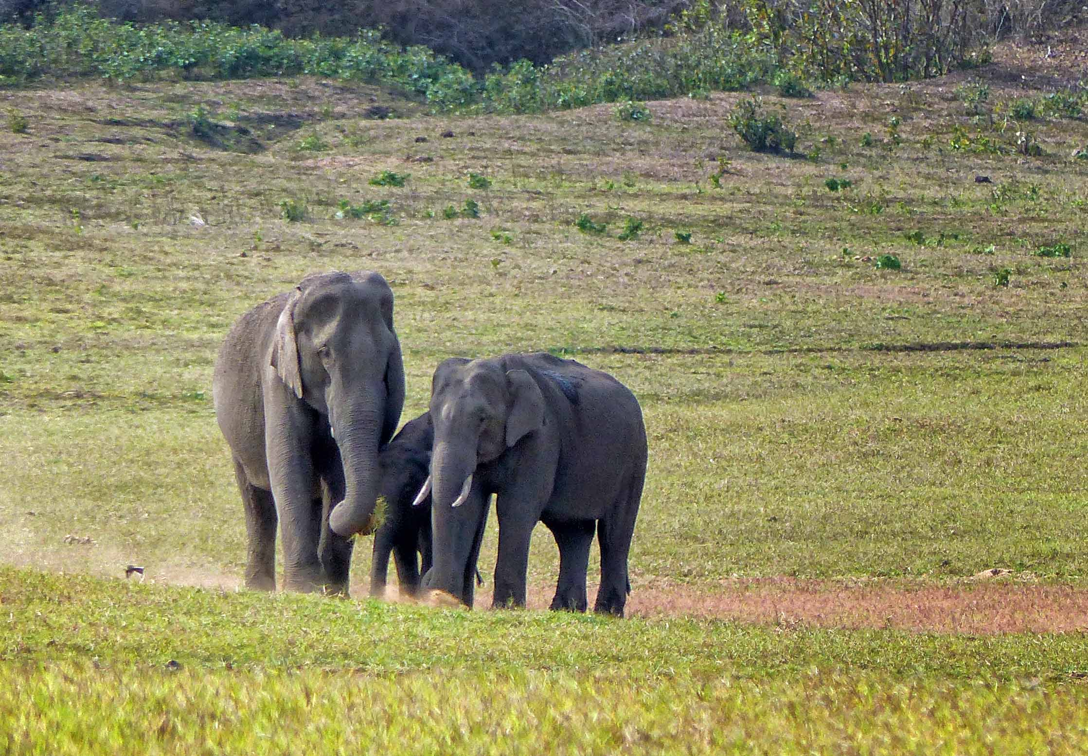 Two adult elephants with calf sheltering between them