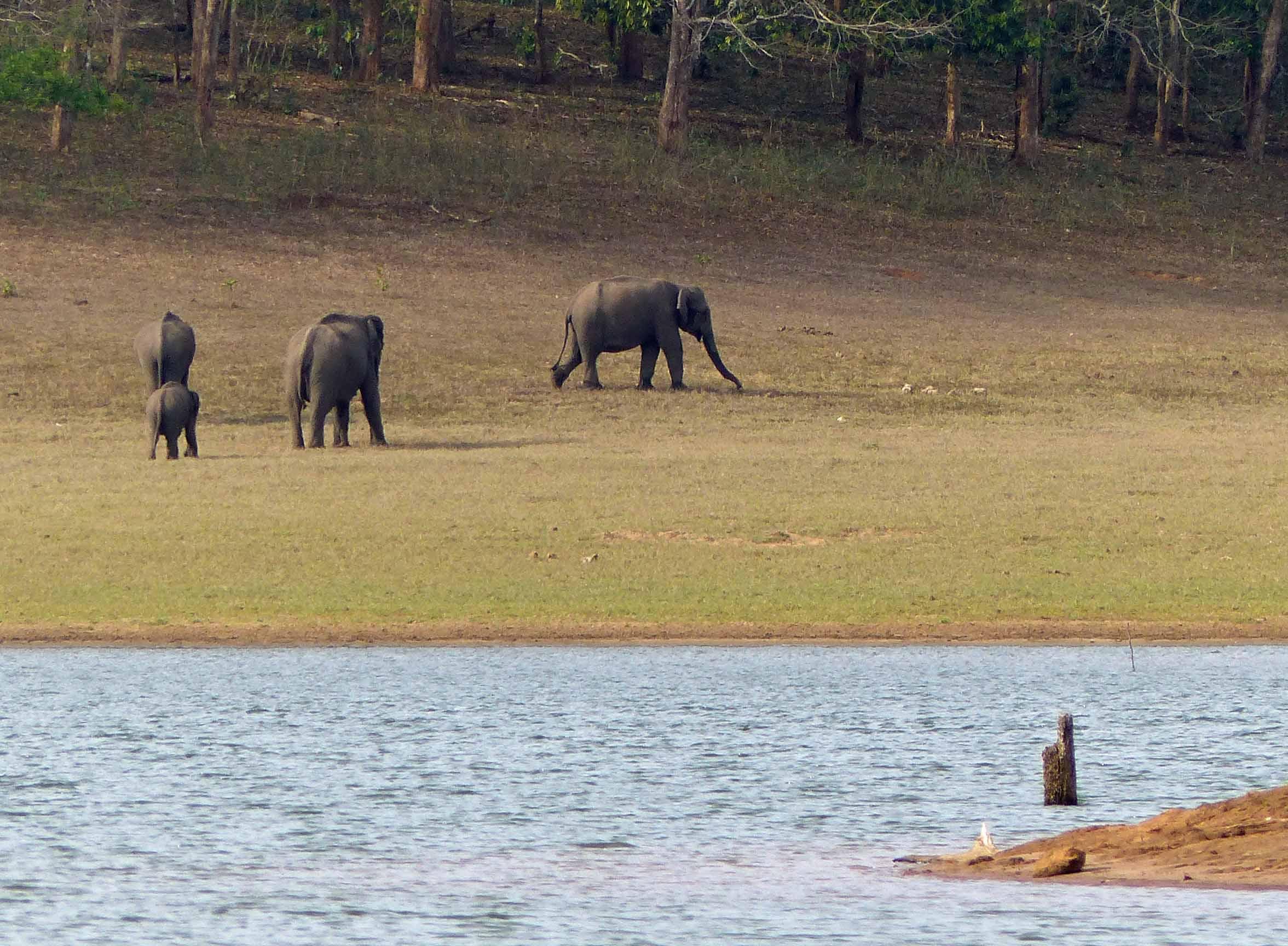 Three female elephants and a calf by a lake