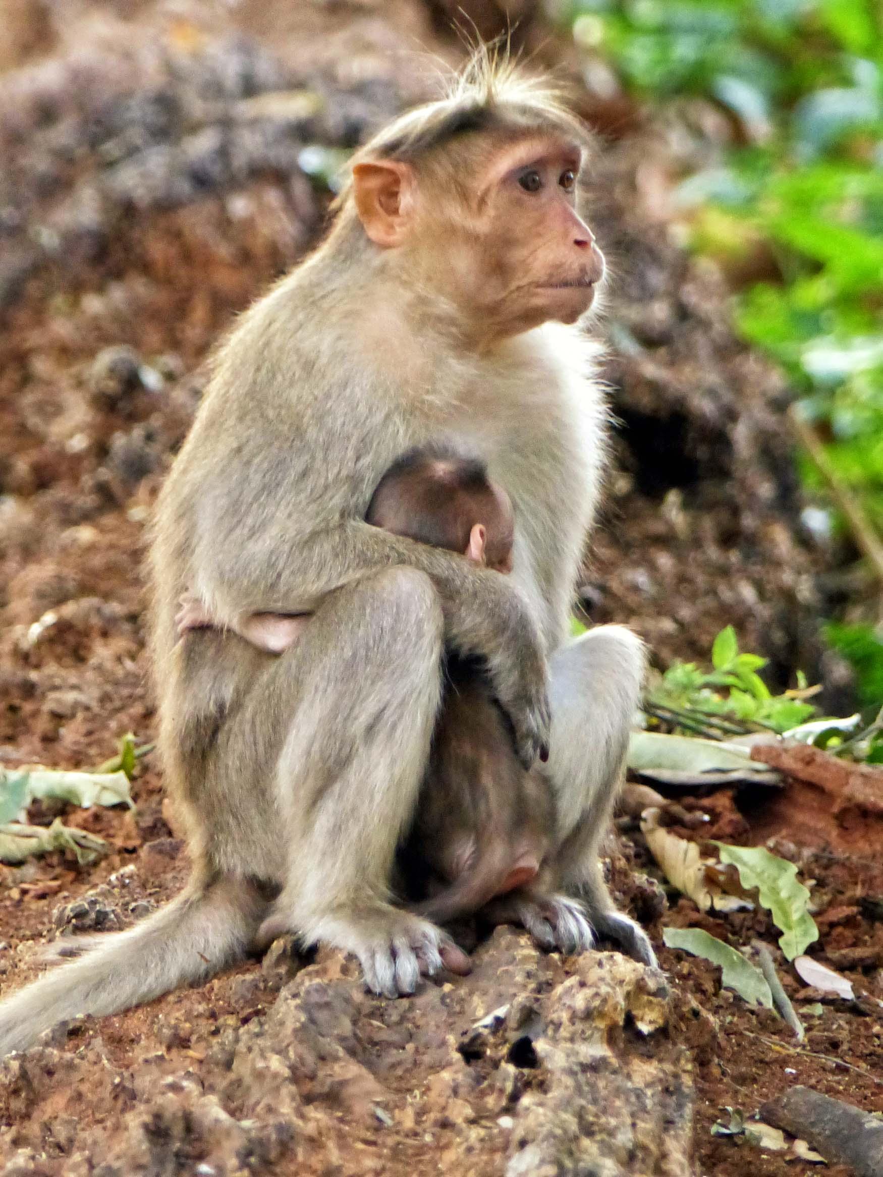 Monkey holding baby