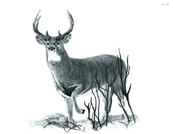 How To Draw A Deer Easy Tutorial Toons Mag