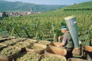 Still Looking Good: harvests in Beaujolais and Bourgogne are still likely to be good, despite hail damage
