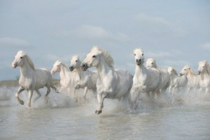 Wild White Fun: The horses of the Camargue enjoy life in the sunniest part of France in 2013