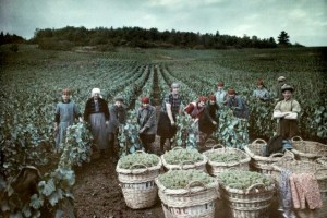 """Champagne harvesters in 1929: a year that was a good """"millésime"""", unlike 2014, most likely"""