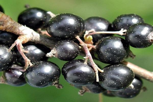 Blackcurrants (122.4 mg - per 100 Grams)