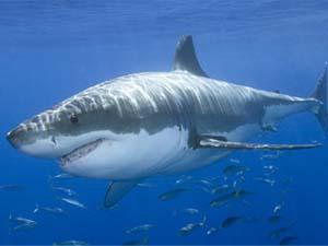 Los 10 tiburones más mortales