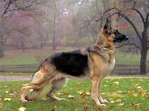 Las 10 razas de perros más costosas