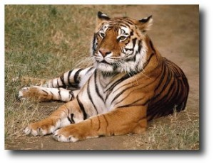 3. Tigre
