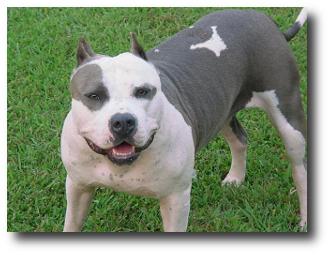 Las 10 razas de perros con mayor número de muertes ocasionadas