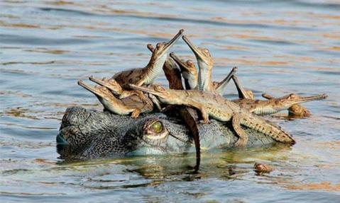 Familia de cocodrilos en el río Chambal, India