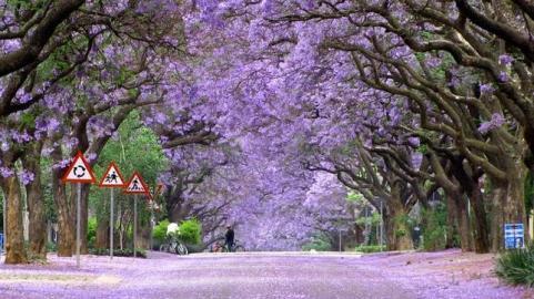 Paseo de Jacarandas