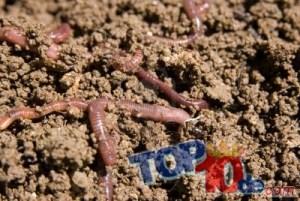 5. gusanos