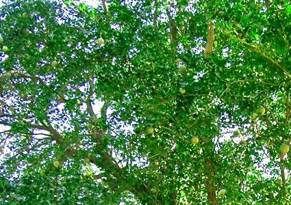 wood apple leaves