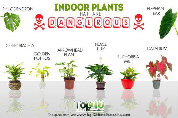 indoor houseplants that are dangerous