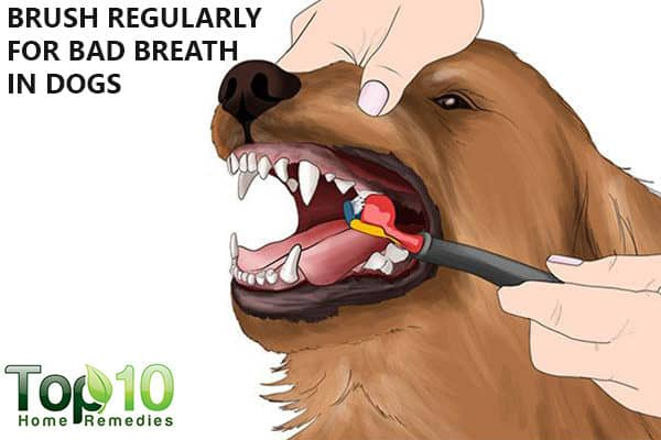 brush regularly to prevent and treat dog bad breath