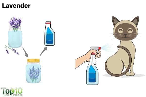 lavender to trea flea infestation on cats