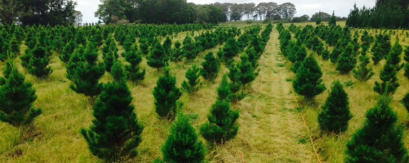 Gold-Coast-Christmas-Trees-Burleigh