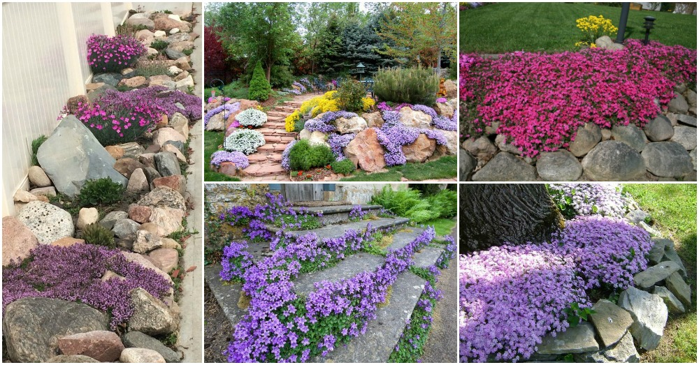Creeping Phlox Adds A Splash Of Color To Your Landscape