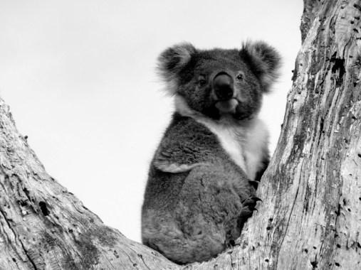 Koala III © Yopich