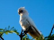 Pigeon Albinos © Yopich