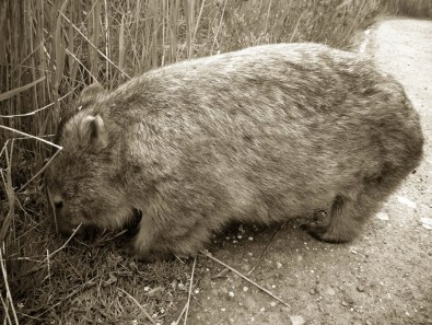 Willy Wombat © Yopich
