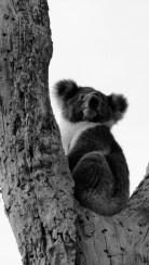 Koala II © Yopich