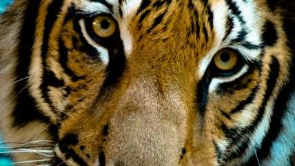 Le tigre de Kampot