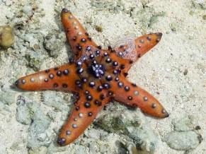 Etoile de mer orangée avec des pigments blancs reposant sur le sable à quelques encablures de Mantabuan