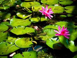 Lotus © Sandy