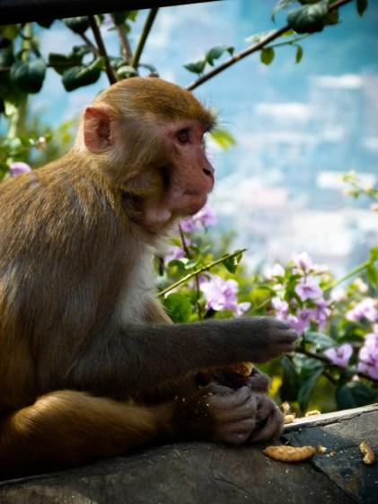 Festin de macaque © Topich