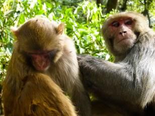 Interruption de toilette macaque. © Topich