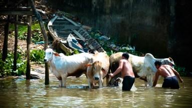 A l'eau les bovins !
