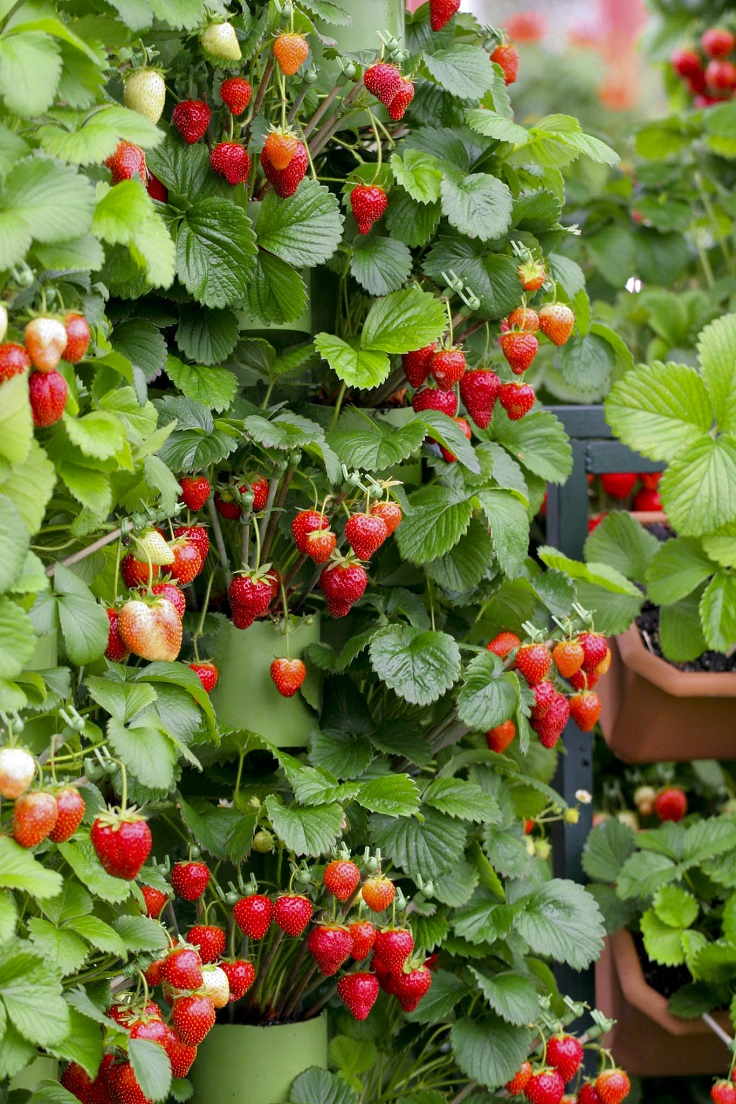 Strawberry Plant Tips
