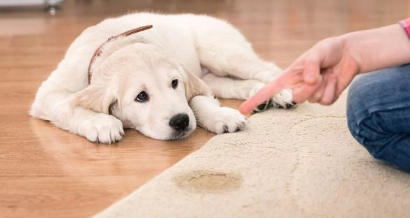 How To Remove Pet Urine Stains From Your Carpet