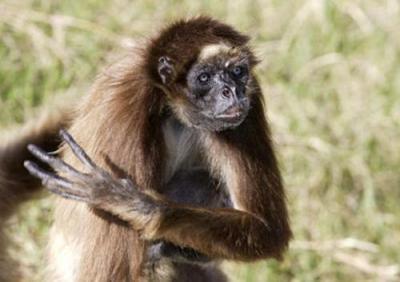 """По другой версии,  15-сантиметровый """"пришелец""""  - это не более чем засушенный и безволосый трупик детеныша коата, то есть паукообразной обезьянки вида Ateles (на снимке)."""