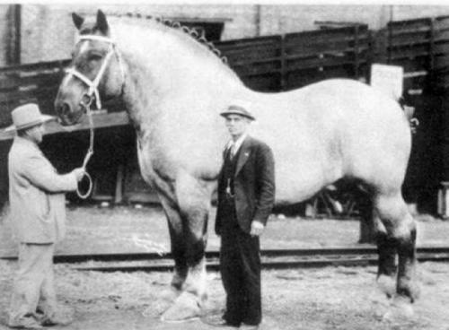 Самая большая лошадь в мире, 1928.