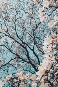 Download Aesthetic Cherry Blossom Tree