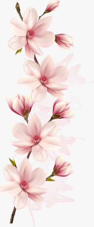 Vector A Pink Magnolia Flowers, Magnolia, Pink, One PNG Transparent Clipart Image and PSD File for Free Download