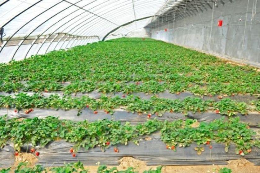 Çilek tarımı