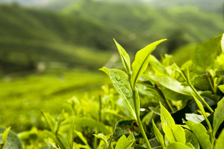 ten best organic tea brands featured