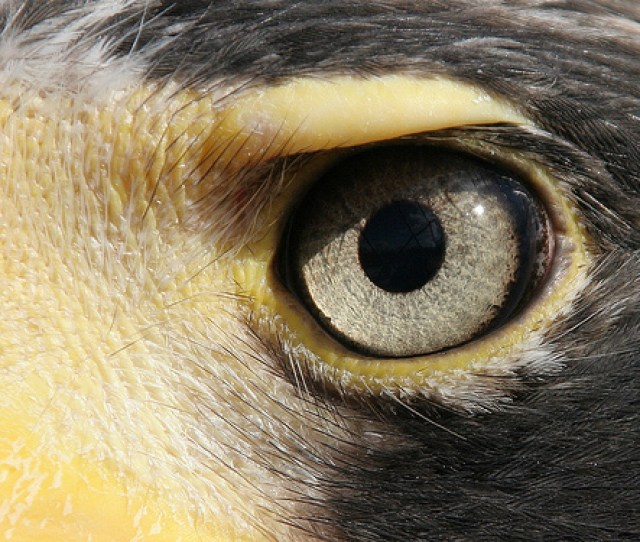 The Eye Of The Bald Eagle Is Not Spherical Allowing For A More Focused Visual Field Unlike The Mammalian Eye With A Lens That Is Pushed Forward In Order